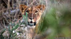 """""""catastrophic collapse"""" in the number of lions in West Africa, with only around 400 left in the region"""