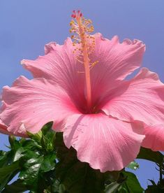 Pink Hibiscus...against a blue sky...
