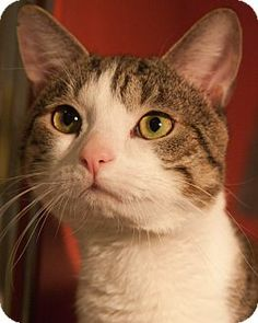 Lovables: Boston, MA - Domestic Mediumhair. Meet JOE SCHMOE a Cat for Adoption.