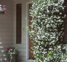 Trachelospernum jasminoides.self-twining evergreen climbing shrubs with glossy ovate leaves and jasmine-like, highly fragrant flowers, sometimes followed by bean-like seed-pods
