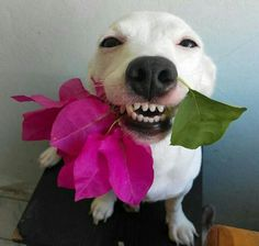 now that's a smile❤❤❤ Silly Dogs, Smiling Dogs, Funny Dogs, Love Pet, I Love Dogs, Cute Dogs, Funny Animal Memes, Funny Animals, Cute Animals