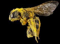 Une abeille Halictus couverte de pollen