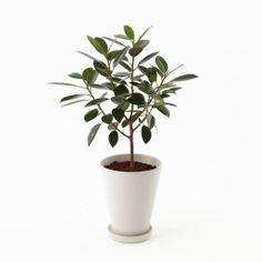 指宿の観葉植物 フランスゴム ミディアムサイズ