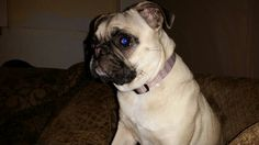 I love pugs and got to dog sit one