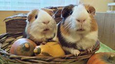 Halloween Guinea Pigs, Rabbit, Halloween, Animals, Bunny, Rabbits, Animales, Animaux, Bunnies