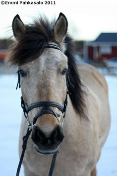 Estonian Native gelding Rooma