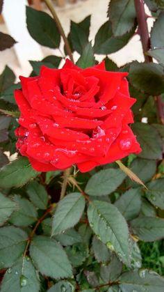 Do meu quintal... A criaçao de Deus é perfeita!!! #semfiltro #rosasvermelhas