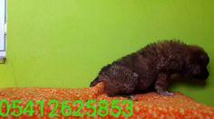 Kafkas çoban köpeği yavru 05412625853