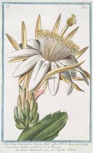 Melocactus Americanus trigonus flore albo = Cereo Americano = Le figuier o'Inde [Cactus melon] (1772-1793)