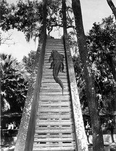 Florida Memory - Alligator climbing stairway to sliding board in an alligator farm - St. Tallahassee Florida, Tampa Florida, Florida Beaches, South Florida, Florida Tourism, Florida Gators, Florida Vacation, Jacksonville Fl, Florida Girl