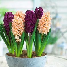 How-to-Force-Hyacinths-2 - Longfield Gardens.jpg