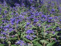 Caryopteris Clandonensis (x), Heavenly Blue,