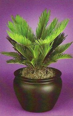 Sago Palm Doesn't need direct sunlight and only needs a cup of water every two weeks. Palm Garden, Garden Trees, Tropical Garden, Garden Planters, Container Plants, Container Gardening, Potted Palms, Lanai Ideas, Palm Trees Landscaping