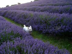 Parisian westie in the lavender fields