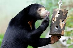 Sun bear 'Cecil' is seen enjoying some enrichment treats in his enclosure at  Zoo Usti nad Labem in the Czech Republic. The Malayan sun bear is also known as a 'honey bear', which refers to its voracious appetite for honeycombs and honey