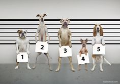 In this funny dog photo a police line up features five potential canine criminals including an English Bulldog, a Whippet, a Mastiff, a Chihuahua and a Basset Hound.