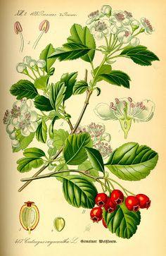 Vintage Ephemera: Botanical plate, Mayflower - 1885