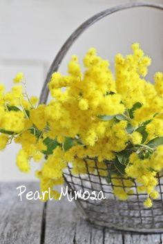 aka Acacia or wattle, Australia's national flower