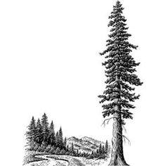 Giant Redwood Tree–Sequoias