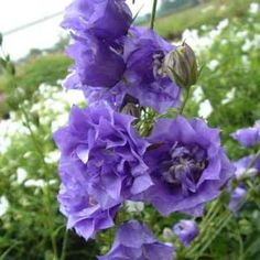 Campanula persicifolia 'Pride of Exmouth'