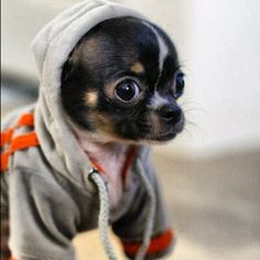 ... #dogs #animal #chihuahua