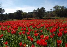Chios : the red tulips grow wild just everywhere in the island ! Virtual Travel, Ultimate Travel, Chios Greece, Greece Food, Greek Flowers, Greek Isles, Forest Mountain, Greece Islands, Paradise On Earth