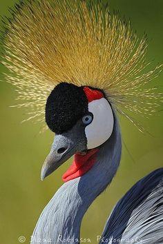 La grulla coronada cuelligrís (Balearica regulorum)