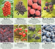 Aronia, Olallie and Other Berry Varieties Vy to Be the Next Super Berry - WSJ.com