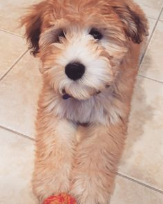 Going to doggie daycare for the first time today! Hoping to make lots of furiends! Just don't bark at me. I get spooked.  #whoodle #whoodlesofinstagram #puppy #puppiesofinstagram #puppylove #instapuppy #cutepuppy #lacyandpaws #puppygram #dog #dogsofinstagram #instadog #instapet #wheatenterrier #poodle #wheatensofinstagram #wheatensofinsta #wheatensofig #wheatenpuppy #buzzfeedanimals #dogsofcincy by piperthewhoodle