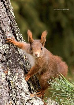 Red squirrels in National Park of Stelvio