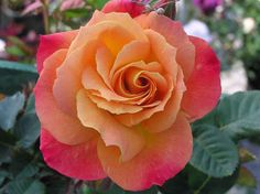 """Climbing rose """"Joseph Coat"""".  this rose change colors as they bloom, hence the name """"Joseph Coats""""."""