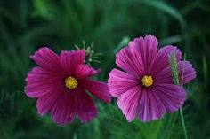 cosmos flowers images - Google Search Cosmos Flowers, Google Search, Plants, Plant, Planets
