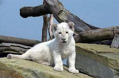 Bildergebnis für weißer löwe