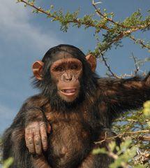 Sweetwater Chimpanzee Sanctuary, Kenya, provides lifelong refuge to orphaned and abused chimps.