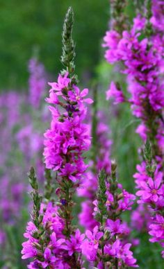 Purple loosestrife - In DC - a flower used by landscapers. In WA State - a noxious weed growing on the lake shorewhich we were supposed to eradicate. My Flower, Purple Flowers, Wild Flowers, Beautiful Flowers, Purple Loosestrife, Invasive Plants, Language Of Flowers, Gardening, Shades Of Purple