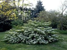 Flowering Shrubs For Shade, Full Sun Shrubs, Shade Shrubs, Trees And Shrubs, Evergreen Shrubs, Shade Plants, Landscaping Shrubs, Garden Shrubs, Shade Garden