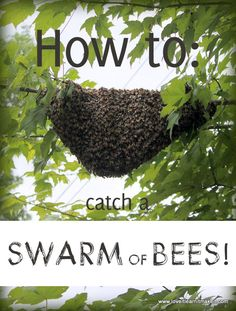 Bees Being Bees - They Swarmed!  How to Catch A Swarm Of Bees   Love It Learn It Make It