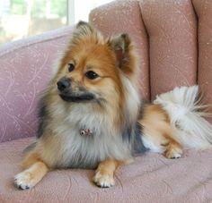 I really want a Pomeranian!