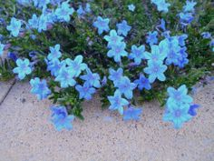 Lithodora: Evergreen and Electric Blue Radiance