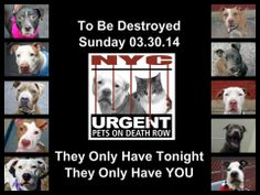 TO BE DESTROYED!!!! 03/30/14! PITTIES ARE IN DANGER AGAIN. ALL THESE DOGS COUNT ON US!!! LET'S NOT LET THEM DOWN!!! PLEASE OPEN YOUR HEARTS AND PLEDGE, TAKE THEM HOME, BUT BE QUICK AS TIME IS TICKING AWAY. THE LIST IS VERY LONG AGAIN AND WE WE HAVE SOLITTLE TIME SO BE QUICK WHEN MAKING UP YOUR UP.  https://www.facebook.com/media/set/?set=a.611290788883804.1073741851.152876678058553&type=3