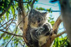 Great Ocean Road Australia Koala Bear Wildlife Photos #koalabear #wildlife #greatoceanroad #world #fun #photooftheday #satw #RTW #RTWNow #RTWSoon #LP #travelpics #travel  #tourist #tourism #vacation #traveling #trip #vacation #getaway #traveling #visiting  #holiday #fun #adventure #paradise #travelblog #travelblogger      #beautifulworld #culture #flight #travelpics #travelworld #travelaroundthewrold #naturephotography #Amazingphotosfromaroundtheworld #placestoseebeforeyoudie