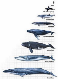 Whale Chart by Dixie Allan, killer whales aren't whales, but then, i guess humans aren't either. Orcas, Types Of Whales, Save The Whales, Ocean Creatures, Humpback Whale, Killer Whales, Ocean Life, Marine Life, Under The Sea