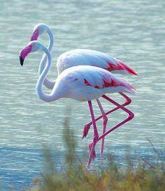 Fenicotteri - Flamingos - #Cagliari #Sardinia #Cerdeña #Sardegna