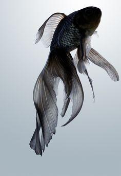 "Gold fish ""Seibun-gyo"" photo by Osamu Yamazaki."
