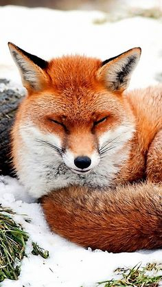 fox_snow_lying_grass_56531_640x1136 | by vadaka1986