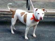 """TO BE DESTROYED 3/12/14.Pink is a delicious, big girl who was betrayed when her """"family"""" moved and didn't take her w/ them. Please give Pink another chance at a happy life! Manhattan Center -P.My name is PINK. My Animal ID # A0992999. I'm a female white/brown pit bull mix about 2 YRS.  https://www.facebook.com/photo.php?fbid=767920839887464&set=a.611290788883804.1073741851.152876678058553&type=1&theater"""