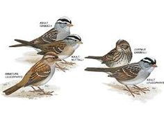Image result for white crowned sparrow on lupin