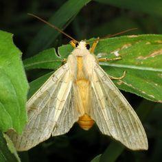 bug of the day von urtica