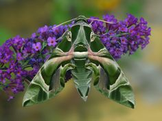 lišaj orgovánový – Vyhľadávanie Google Moth, Insects, Google, Animals, Animales, Animaux, Animal, Animais