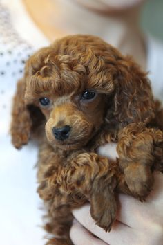 Our tiny Rosie at seven weeks.  one of our red toy poodle puppies!